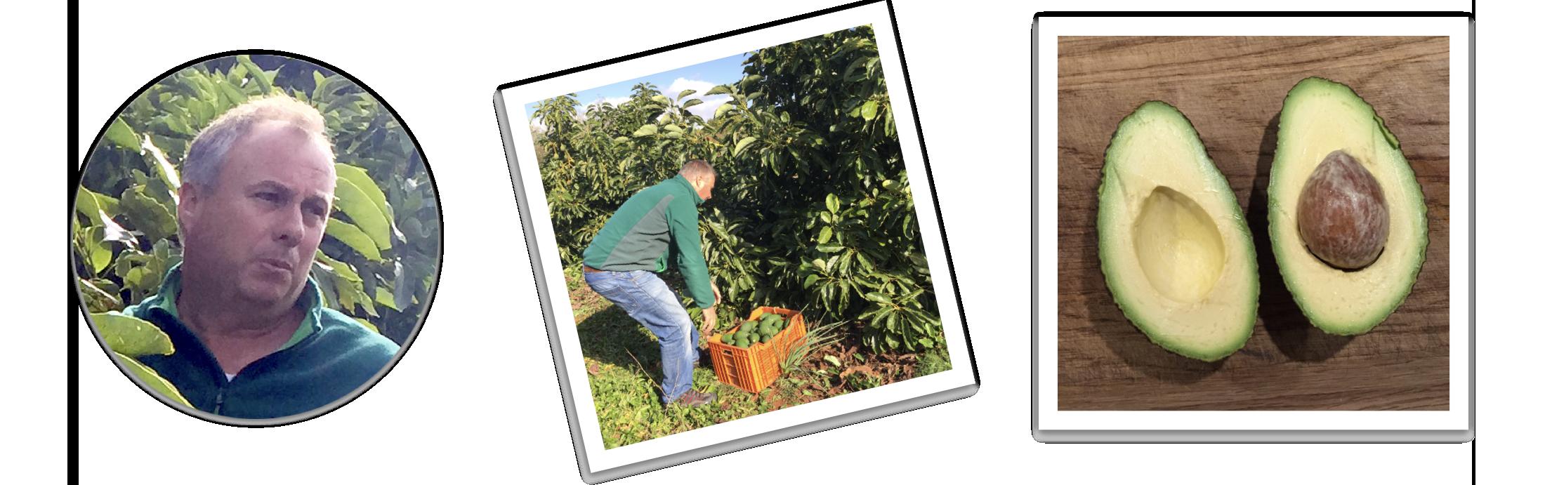 Sergio som høster hass avocado i sin farm og billede af en Hass avocado skåret igennem som fremstår helt perfekt indeni