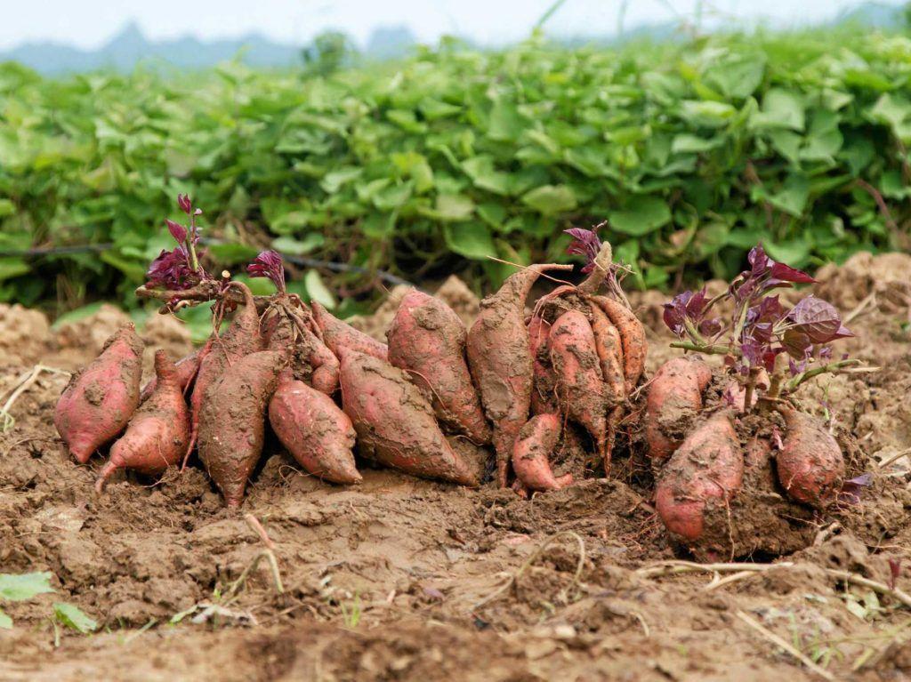 Picture of: Oko Sode Kartofler 3kg Fresh Land